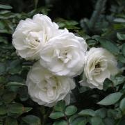 Розы Вальтц
