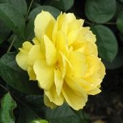 Розы Багама