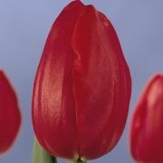 Тюльпаны Кантри Стар