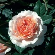 Розы Ксавьер де Фраиссинетте