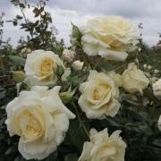 Розы Эльф