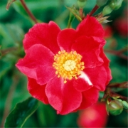 Розы Роуз Каскад