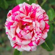 Розы Папагено