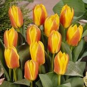 Тюльпаны Ферст Лав