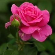 Розы Клейр Маршалл