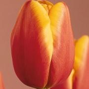 Тюльпаны Париж