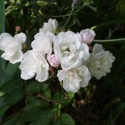 Розы Мари Павье
