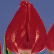Тюльпаны Гандер Спешиал
