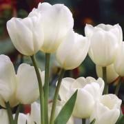 Тюльпаны Вайс Берлинер
