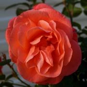 Розы Элизабет оф Глэмис