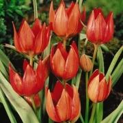 Тюльпаны Хагери