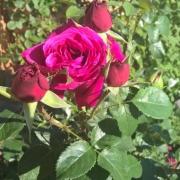 Розы Фишерманс Френд