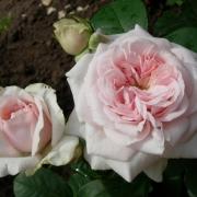 Розы Клейр Роуз