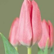 Тюльпаны Уандерфул