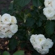 Розы Дентелле де Малинес