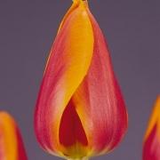 Тюльпаны Оранж Матадор