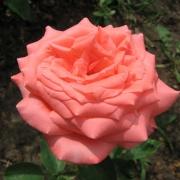 Розы Сильвия