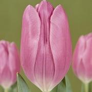 Тюльпаны Калиста