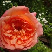 Розы Папи Делбард