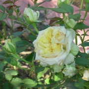 Розы Май Герл