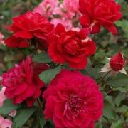 Розы ЛэАми дес Жардинс