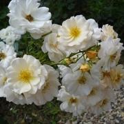 Розы Па де Де