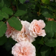 Розы Л'Аимант