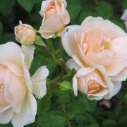 Розы Исарперл