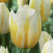 Тюльпаны Флеминг Кокуэтт