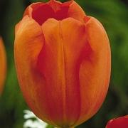 Тюльпаны Оранжезон