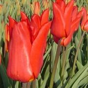 Тюльпаны Тифон