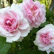 Розы Домейн де Курсон