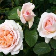 Розы Андре Ле Нотре