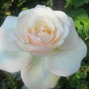 Розы Ледреборг