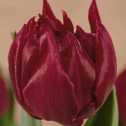 Тюльпаны Дэвид Теньерс