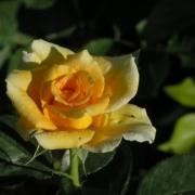 Розы Голден Моника