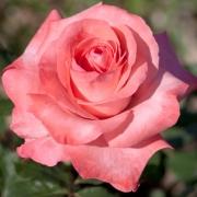 Розы Артур Рембо