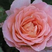 Розы Фиона Гелин