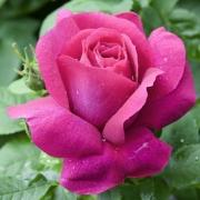 Розы Каприс де Меилланд
