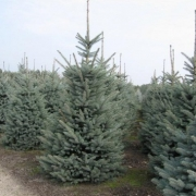 Picea Blue Trinket