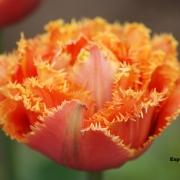 Тюльпаны Эспирит