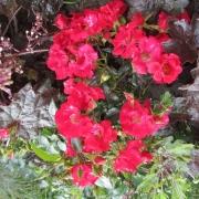 Розы Соммерабенд