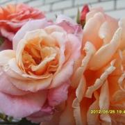 Розы Алоха.