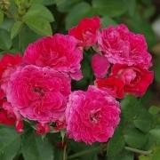 Розы Домейн де Ст Жеан де Берегард