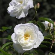 Розы Свит Меилландекор