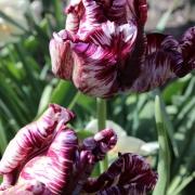 Тюльпаны Мистериос Пэррот