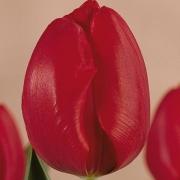Тюльпаны Суитест Спринг