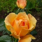 Розы Фрут