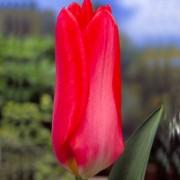 Тюльпаны Пуриссима Кинг