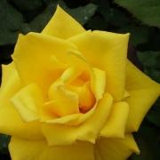 Розы Голден Медалльон